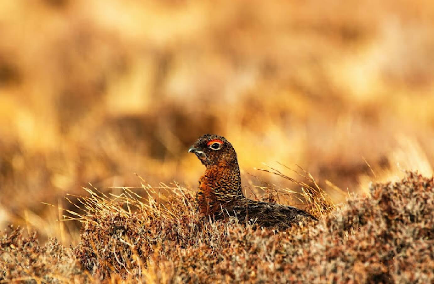 Photograph of a Sooty Grouse laying down in a field