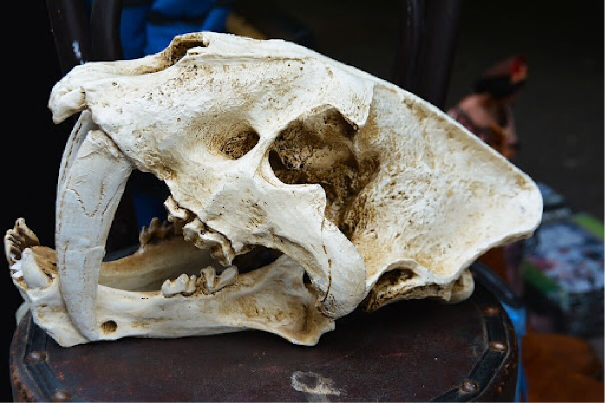 Close up photograph of a saber toothed cat's skull