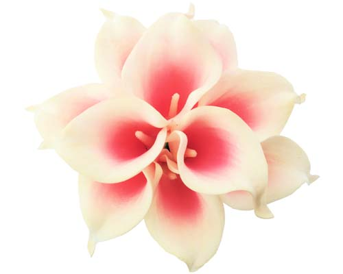 Hot Pink Halo Calla Stems - #A12 - $17.50
