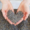 two hands holding dried lavender over bucket of lavender. dried lavender formed in the shape of a heart