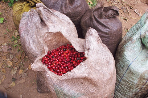 Uniform ripe cherries to be transported from farm to the mill.