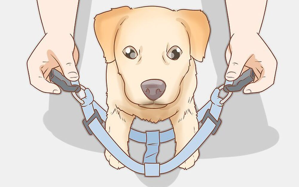 How to Train Your Furry Friend to Wear a Harness?