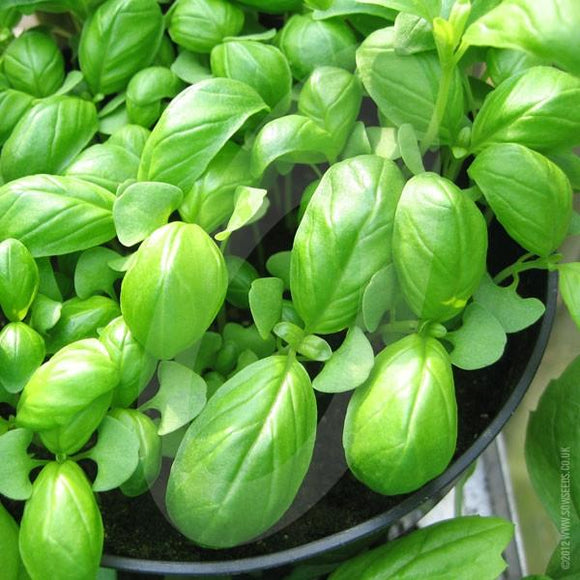 Seeds - Basil: sweet Genovese.  100gm