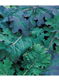 Seeds - Kale: Red Russian.  100gm, 600gm or 1KG