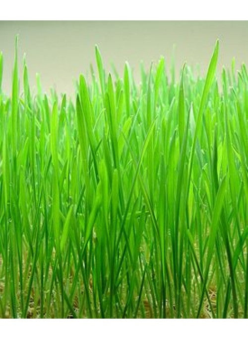 Seeds:  Wheatgrass, ORGANIC New Zealand