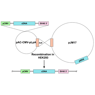 Ad5-CMV-constitutively nuclear NFATc3