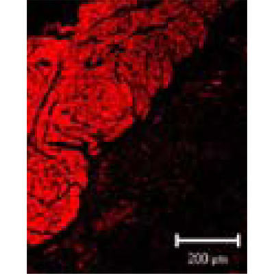 Anti-Smooth Muscle Actin - Mouse (B4)
