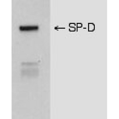 The picture shows a western blot of mouse lavage fluid subjected to SDS-PAGE in the presence of a reducing agent, transferred to nitrocellulose, and immunoblotted with anti-SP-D (1:5000 dilution). Protein bands were revealed using a HRP-conjugated goat anti-mouse secondary antibody and a chemiluminescent detection system.