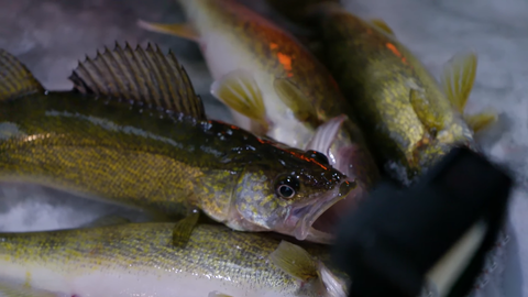 Why Early Ice is Best (FIRST ICE WALLEYE)