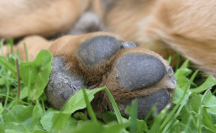 what causes dry cracked dog paws 304004 873x - How To Get Super Glue Off Dog S Paw