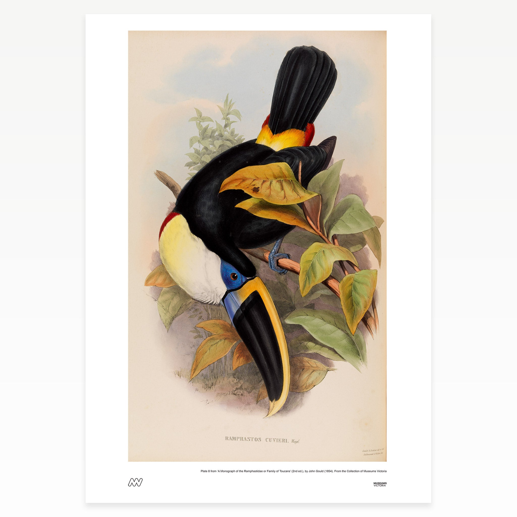 Family of Toucans