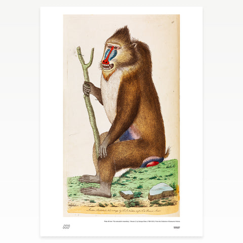 Seated baboon holding a stick
