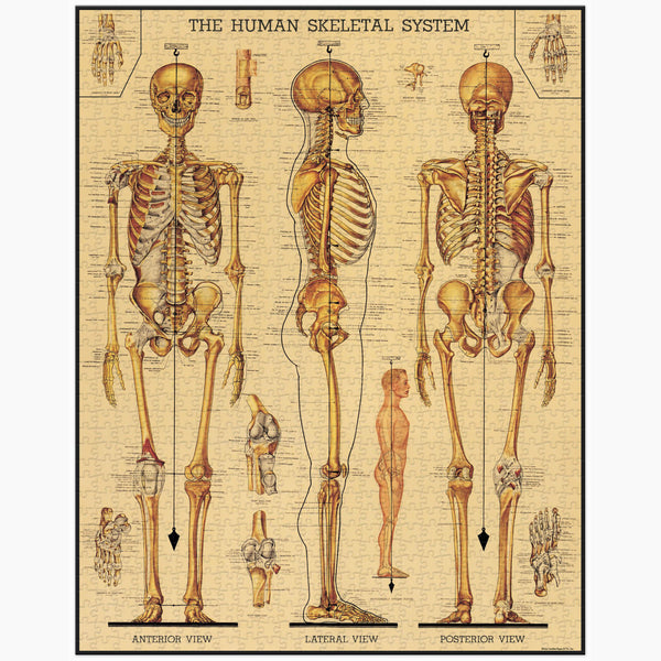 Cavallini Co Skeletal System Puzzle (1000pc)