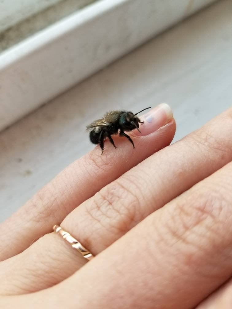 SOLD OUT for 2020-- Mason Bees-Blue Orchard