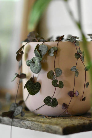 Chain of Hearts Plant