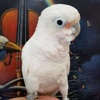 Goffin Cockatoo for sale - Macaws and Parrots For sale