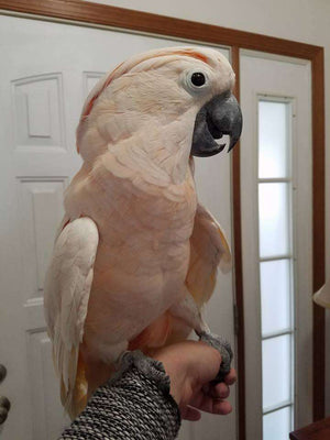 Moluccan Cockatoo for sale - Macaws and Parrots For sale