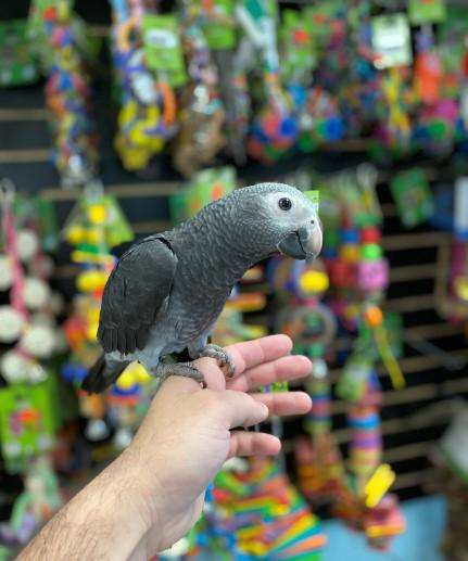 African Grey Timneh Parrots for Sale