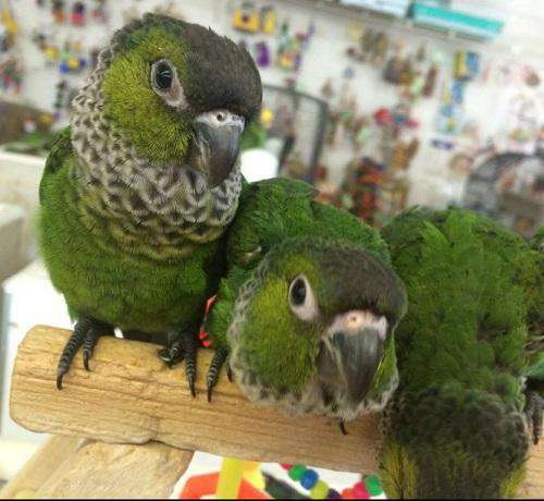 Black Cap Conures for Sale