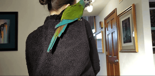 Blue-headed Macaws for Sale - Macaws and Parrots For sale