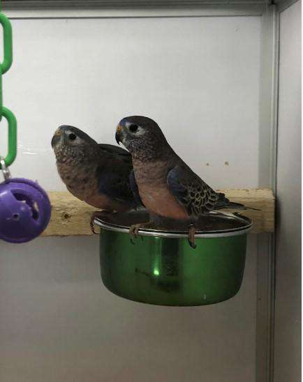 Bourke Parakeets for Sale