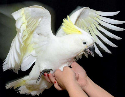 Greater Sulpher Crested Cockatoos for Sale