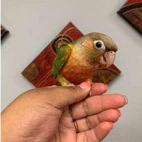 Green Cheek Conures for Sale