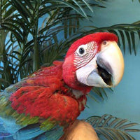 Green Wing Macaw for Sale - Macaws and Parrots For sale