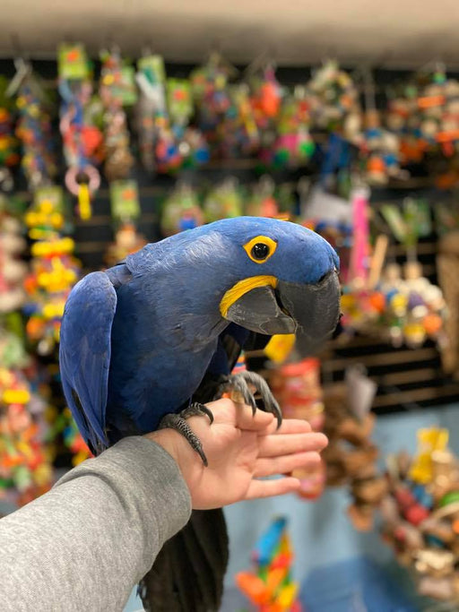 Hyacinth Macaws for Sale
