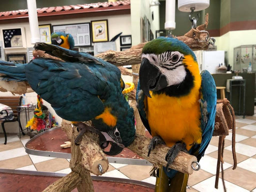Blue Throated Macaws for Sale