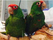 Mitred Conures for Sale