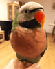 Moustached Parakeets for Sale - Macaws and Parrots For sale