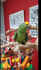 Panama Amazon Parrot for sale - Macaws and Parrots For sale