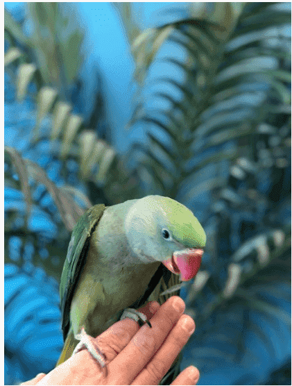 Ringneck Alexandrine Parakeets for Sale - Macaws and Parrots For sale