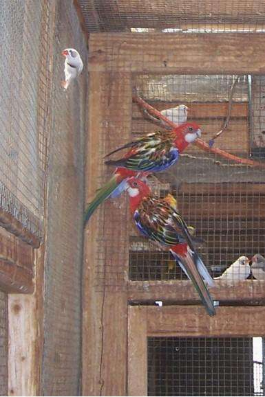 Rosella Golden Manteled Parakeets for Sale