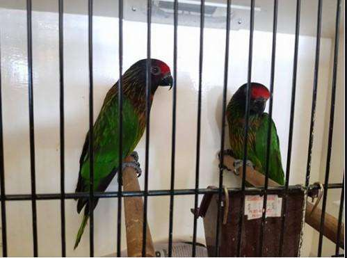 Yellow-streaked Lories for Sale