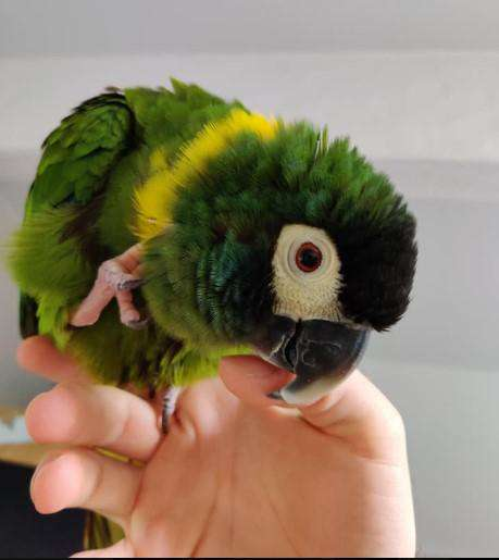 Yellow Collar Macaws for Sale