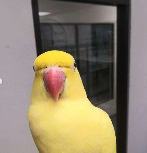 Yellow Indian Ringneck  for sale - Macaws and Parrots For sale
