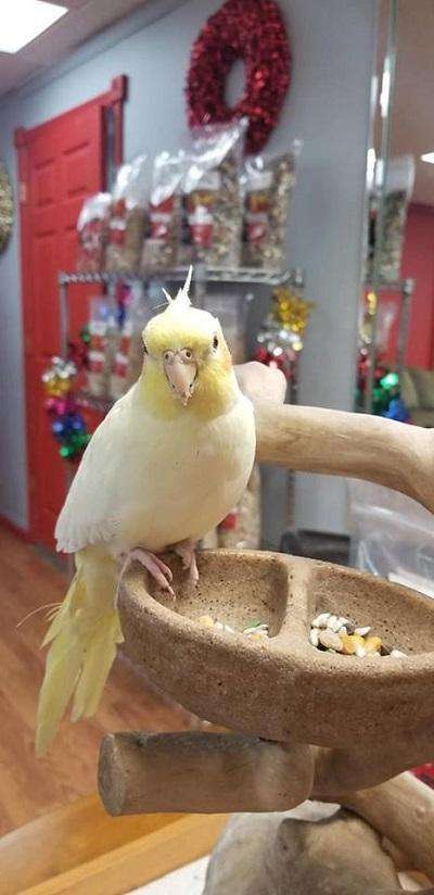 cockatiels Parrot for sale - Macaws and Parrots For sale