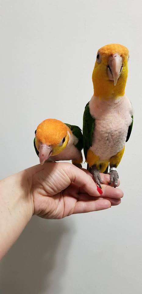 White Bellied Caique for Sale - Macaws and Parrots For sale