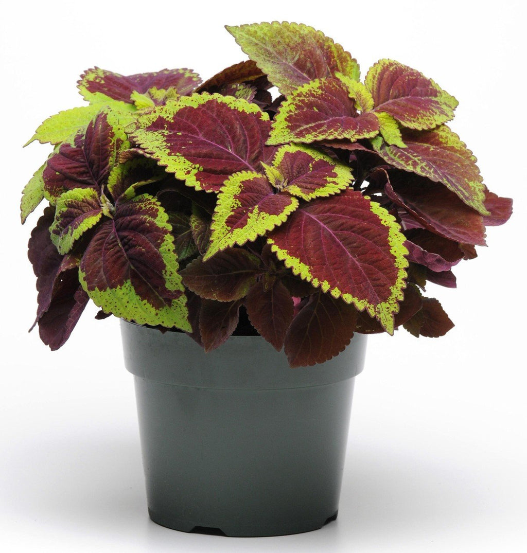 P10 - Coleus Dark Red Green Mix
