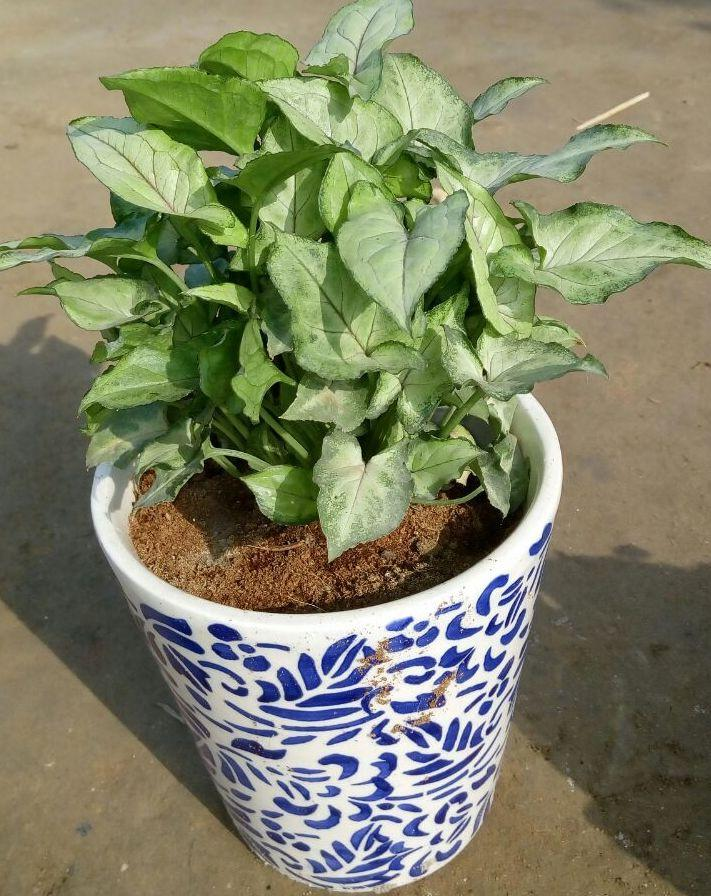 Dwarf Syngonium - Ceramic Pot 6""