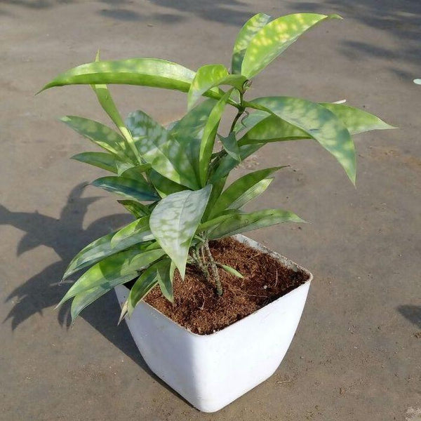 Milky Dracaena Golden - Fiber Pot 4
