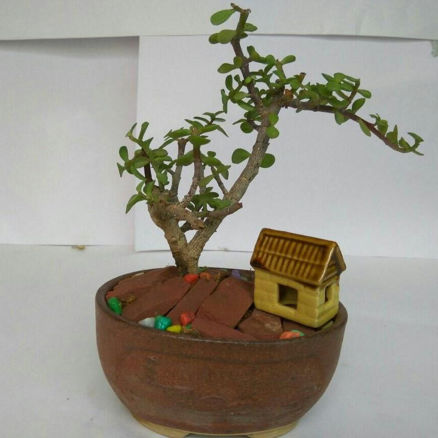 G69 - Jade Bonsai