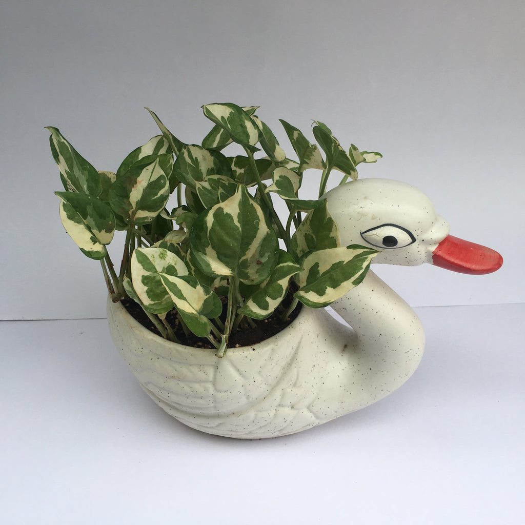 G61 - Dwarf Money Marble Plant + Ceramic Duck Pot