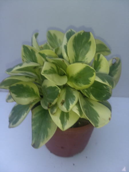 E04 - Peperomia Variegated Indoor Plant