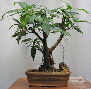 Pilkhan Bonsai (4-5 Yrs Old)