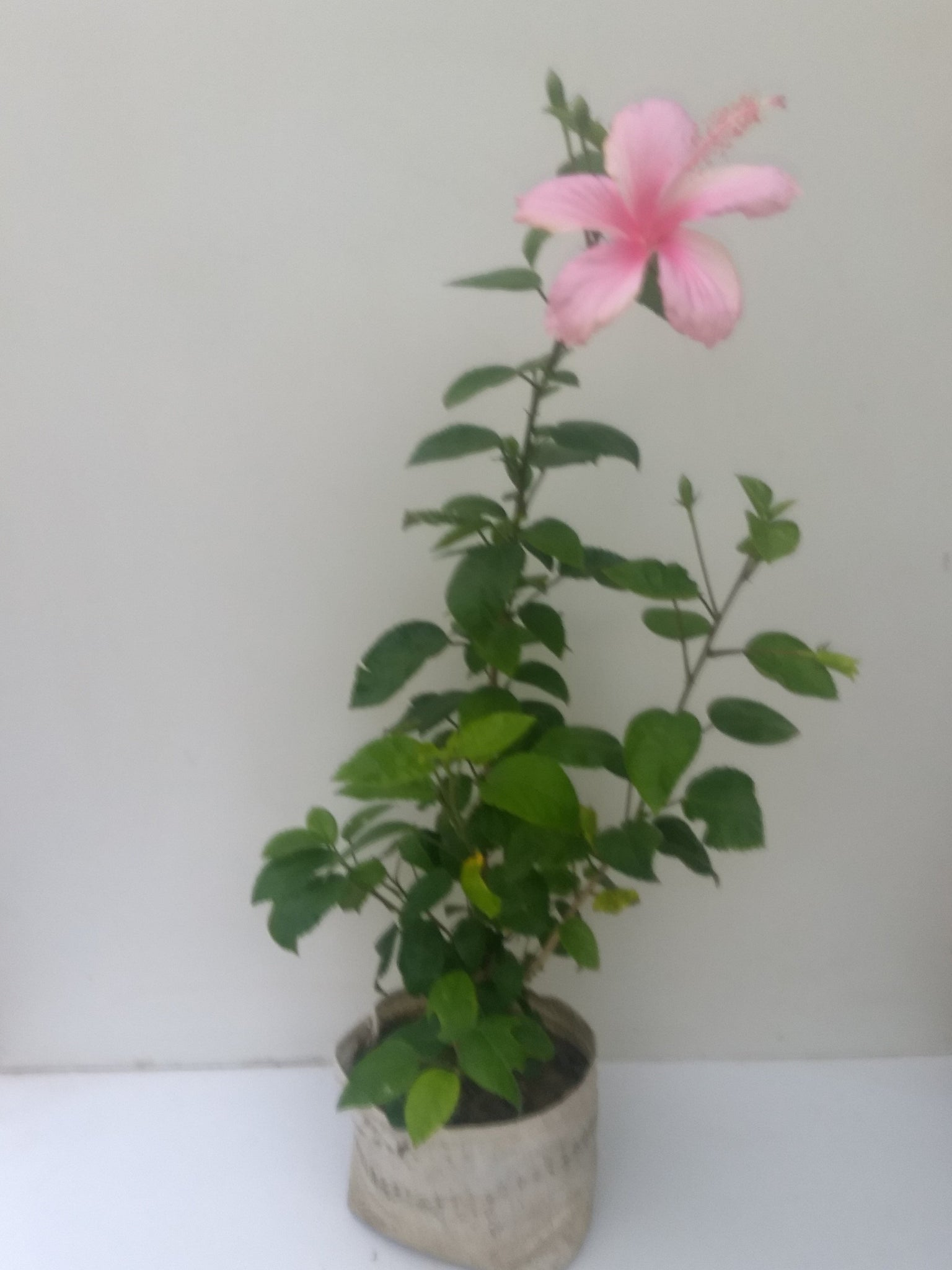 Hibiscus buy outdoor flowering plants online lawnkart hibiscus pink izmirmasajfo