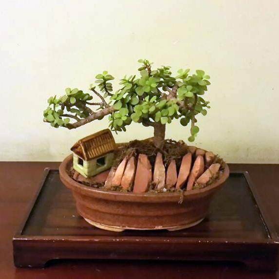 G54 - Mini Jade Plant + Oval Brown Ceramic Tray