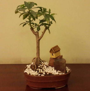 G84 - Schefflera Bonsai (4 year old)